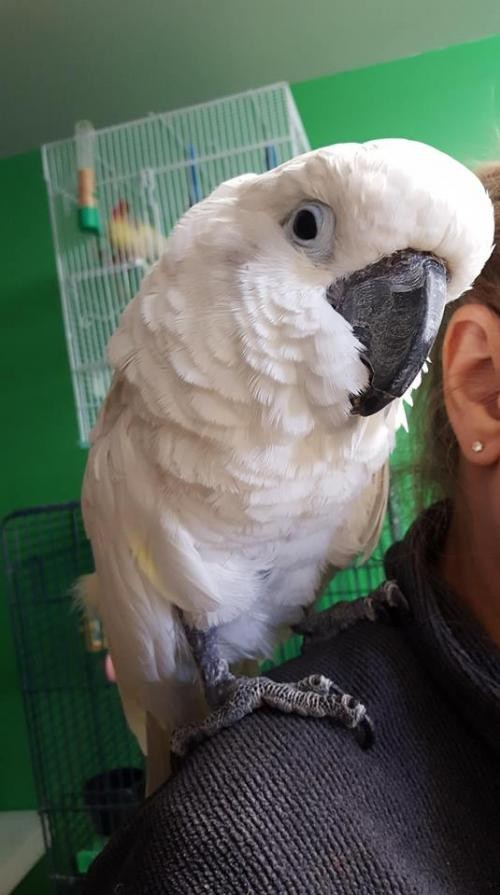 Adopt Elbie a Cockatoo bird in West Fargo, ND (20691200)