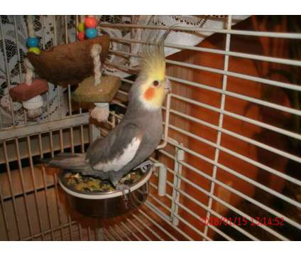 Cockatiels pair and Large Cage
