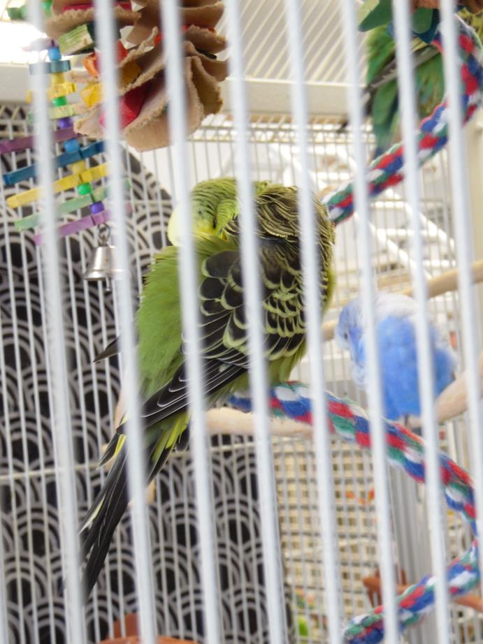 Adopt Budgies a Parakeet (Other)