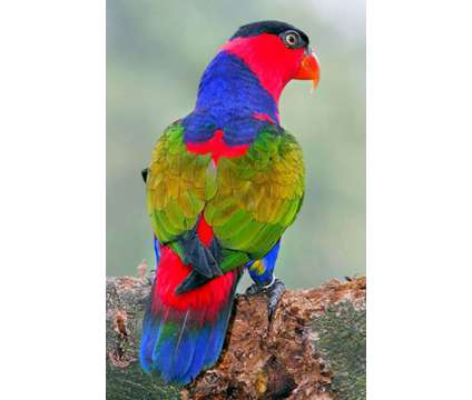 Lory -Black Capped