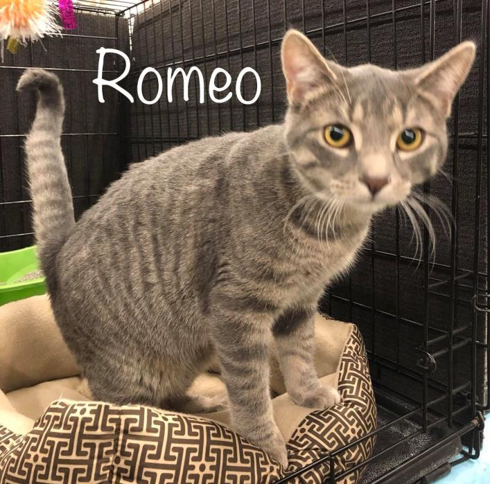 Adopt Romeo a Domestic Short Hair