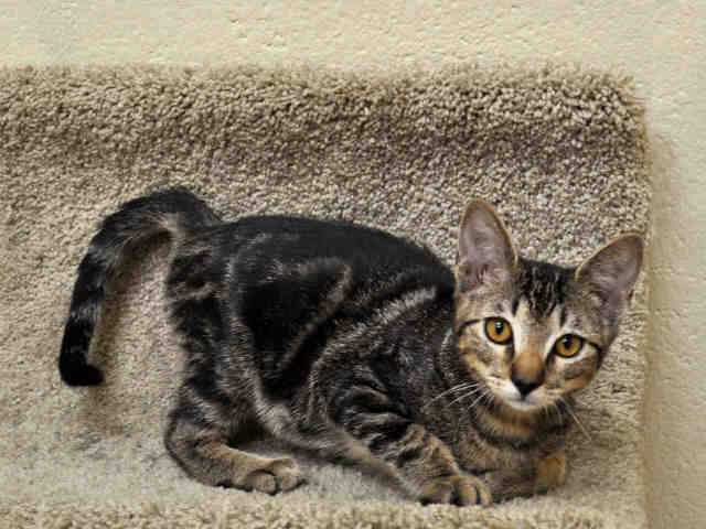 Adopt NABO a Domestic Short Hair