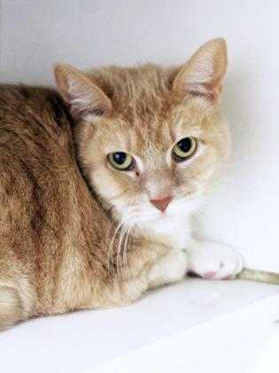 Adopt Sky a Tan or Fawn Domestic Shorthair / Domestic Shorthair / Mixed cat in