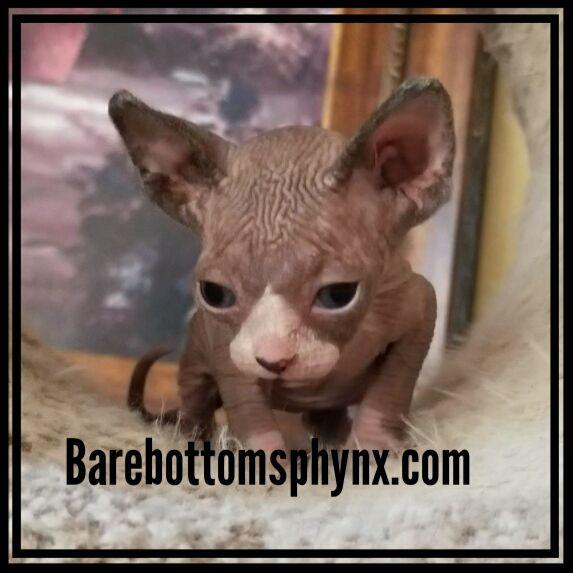 Sphynx Bambino elf dwelf hairless kittens