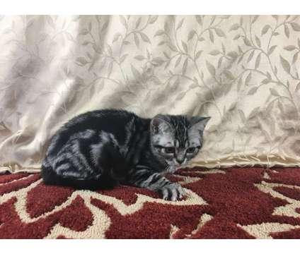 CFA Silver Tabby American Shorthair Kittens