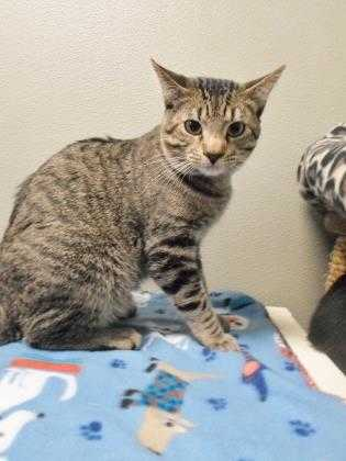 Adopt Archimedes a Tan or Fawn Domestic Shorthair / Domestic Shorthair / Mixed