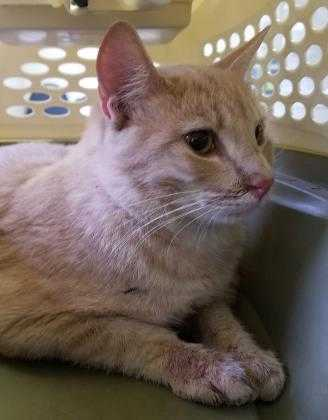 Adopt 37628334 a Orange or Red Domestic Shorthair / Domestic Shorthair / Mixed