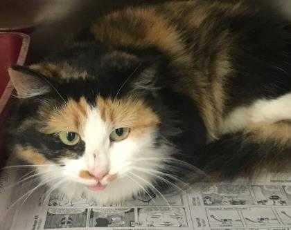 Adopt Melanie a Tan or Fawn Domestic Mediumhair / Domestic Shorthair / Mixed cat