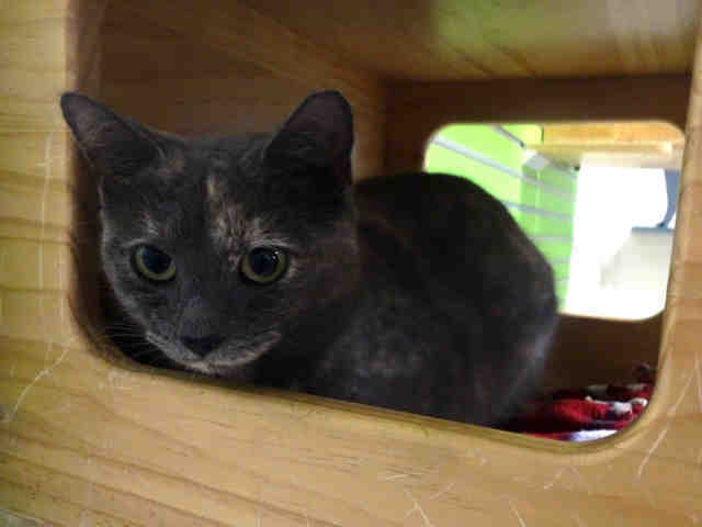 Adopt LONI a Domestic Short Hair
