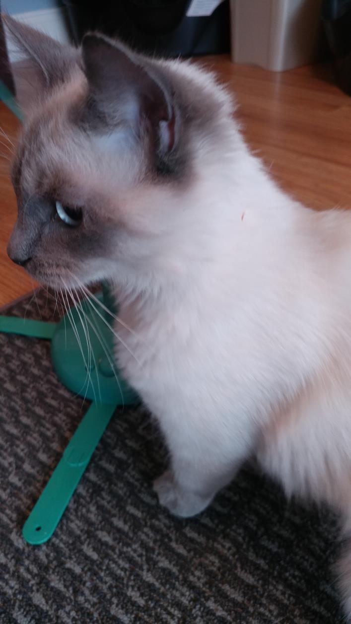 Adopt Leena a Siamese, Domestic Long Hair