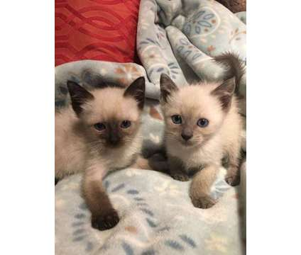 Siamese Kittens, Excellent Temperaments, Raised with Dogs