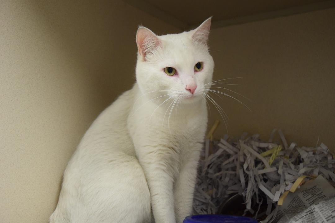 Adopt Alabaster a Domestic Short Hair