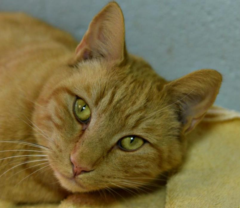 Adopt JAQUL a Domestic Short Hair