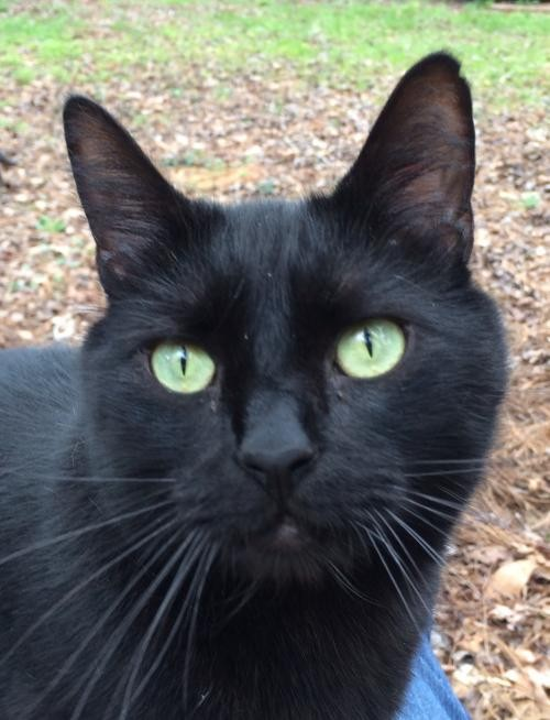 Adopt Carter a All Black Domestic Shorthair / Mixed (short coat) cat in Mobile
