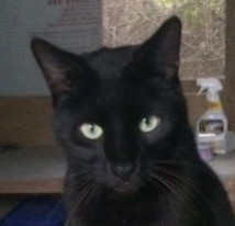 Adopt Poe a All Black Domestic Shorthair / Mixed (short coat) cat in Mobile