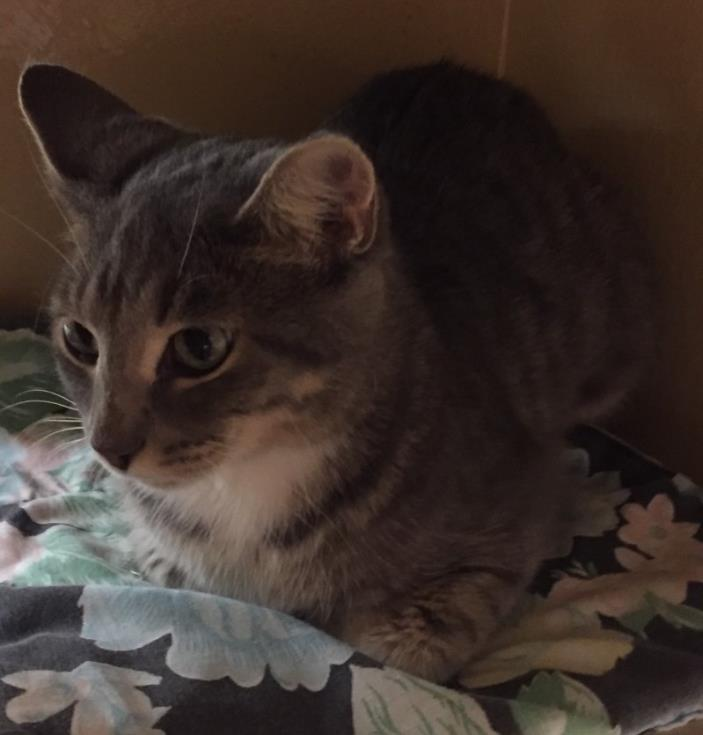 Adopt Debbie a Gray, Blue or Silver Tabby Domestic Shorthair (short coat) cat in
