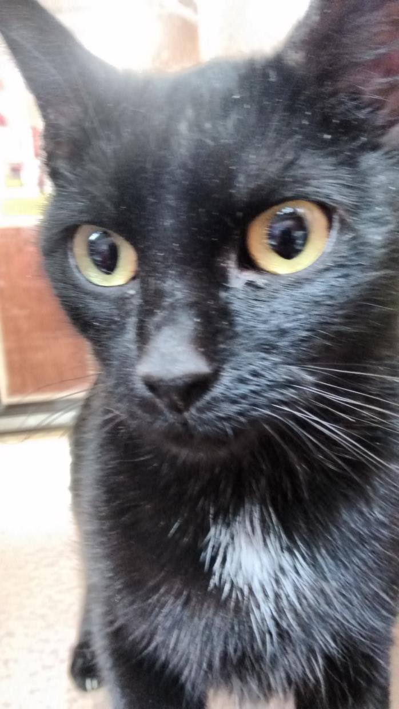 Adopt Lockett a Black (Mostly) Domestic Shorthair (short coat) cat in Morganton