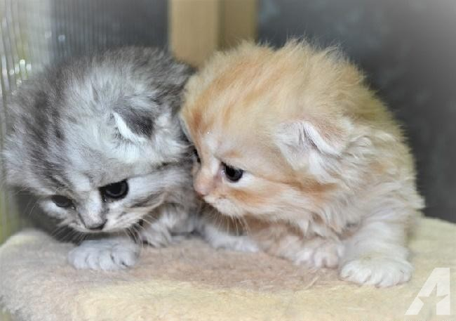 Sweet SCOTTISH FOLD KITTENS for sale