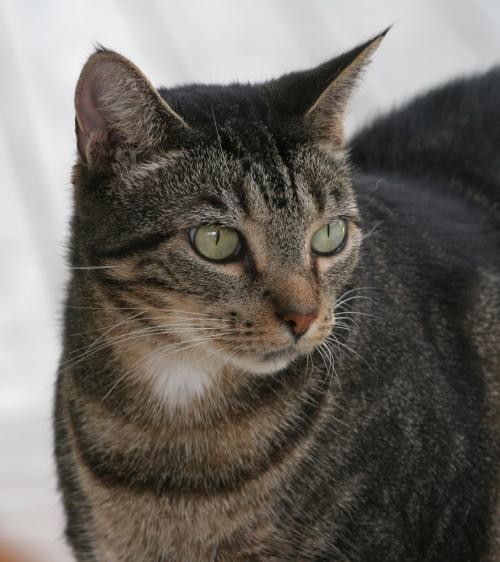 Adopt Andi a Brown or Chocolate Domestic Shorthair / Mixed (short coat) cat in