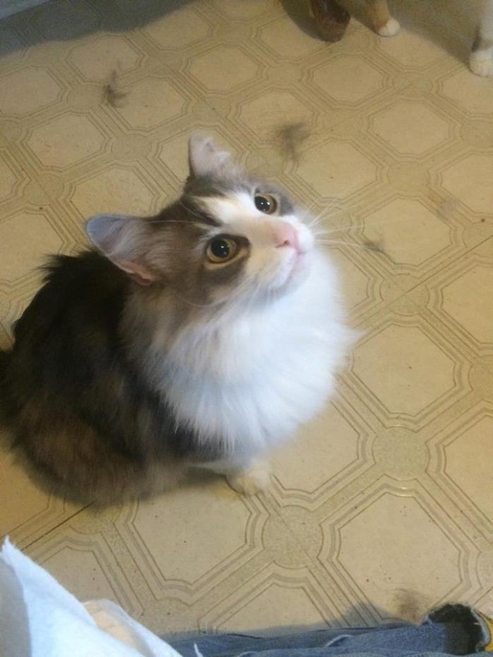Adopt Fuzz a Gray, Blue or Silver Tabby Domestic Mediumhair (medium coat) cat in