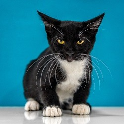 Adopt Waylon a Black & White or Tuxedo Domestic Shorthair (short coat) cat in
