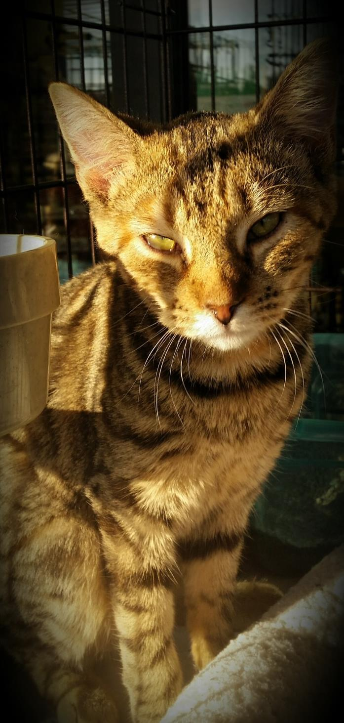 Adopt Kimmie a Brown Tabby Domestic Shorthair (short coat) cat in Fairborn
