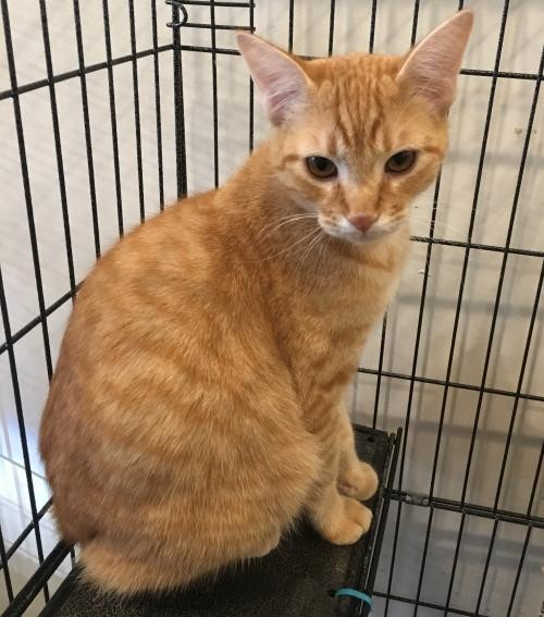 Adopt Roux a Orange or Red Domestic Shorthair / Mixed (short coat) cat in