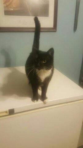 Adopt Huntress a Black & White or Tuxedo Domestic Shorthair / Mixed (short coat)