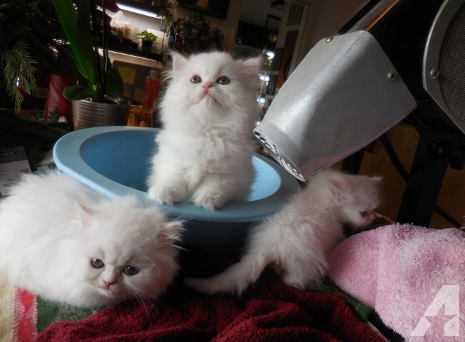 Beautiful CFA Persian Kittens