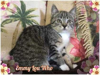 Adopt Emmy Lou Who a Gray or Blue Domestic Shorthair / Domestic Shorthair /