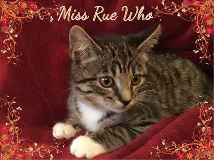 Adopt Miss Rue Who a Gray or Blue Domestic Shorthair / Domestic Shorthair /