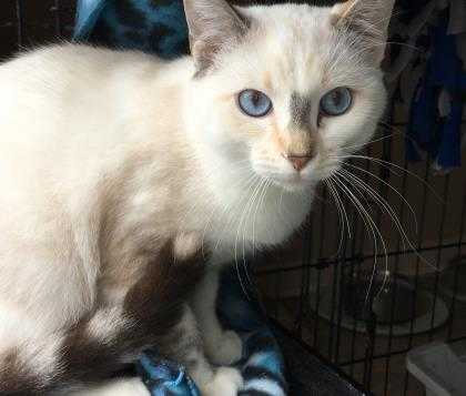Adopt Buttons LCF a Cream or Ivory Snowshoe / Siamese / Mixed cat in Schertz