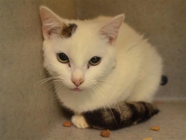 Adopt Cyrus a Domestic Shorthair / Mixed (short coat) cat in New York