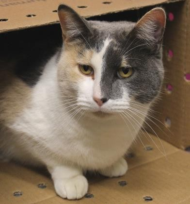 Adopt Allie a Domestic Shorthair / Mixed cat in Wichita, KS (20505826)