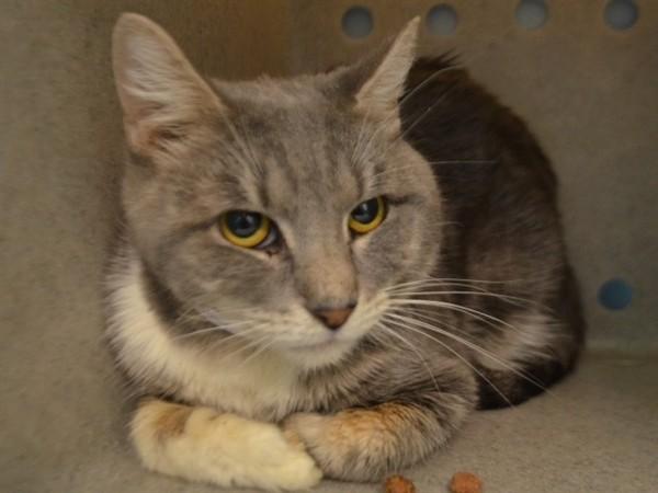 Adopt Kendrik a Domestic Shorthair / Mixed (short coat) cat in New York