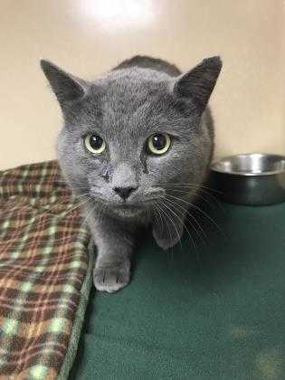 Adopt 37506354 a Gray or Blue Domestic Shorthair / Domestic Shorthair / Mixed