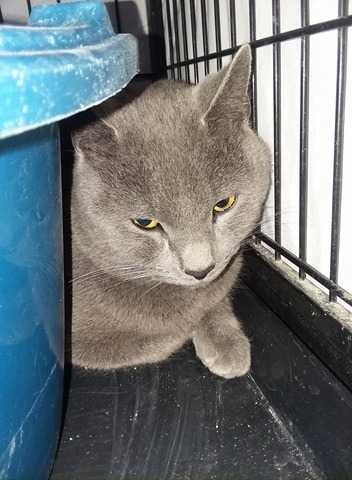 Adopt Barbosa a Russian Blue / Mixed cat in Dickson, TN (20493621)