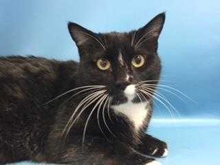 Adopt Mitsey a All Black Domestic Shorthair / Domestic Shorthair / Mixed cat in