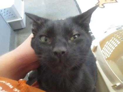 Adopt Hayden a All Black Domestic Shorthair / Domestic Shorthair / Mixed cat in