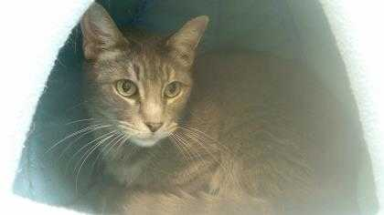 Adopt Ozzie (Cocoa Adoption Center) a Gray or Blue Domestic Shorthair / Domestic
