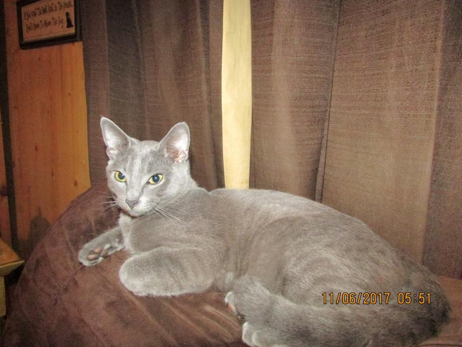 Adopt Smoky a Gray or Blue American Shorthair (short coat) cat in DeRidder