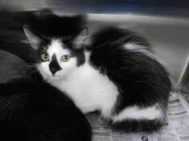 Adopt LUCY a Black & White or Tuxedo Domestic Mediumhair / Mixed (medium coat)