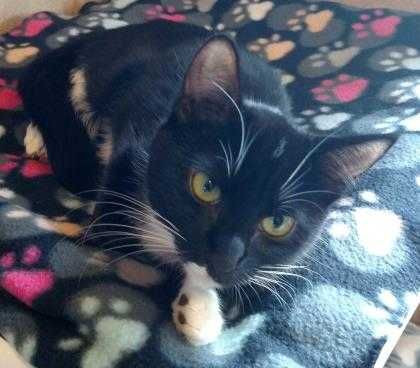 Adopt Little Doll a All Black Domestic Shorthair / Domestic Shorthair / Mixed
