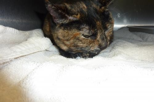 Adopt 116913 a Tortoiseshell Domestic Shorthair / Mixed (short coat) cat in