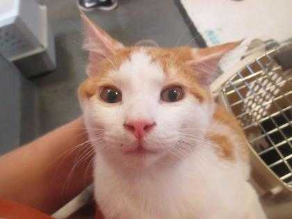 Adopt Tristan a White Domestic Shorthair / Domestic Shorthair / Mixed cat in