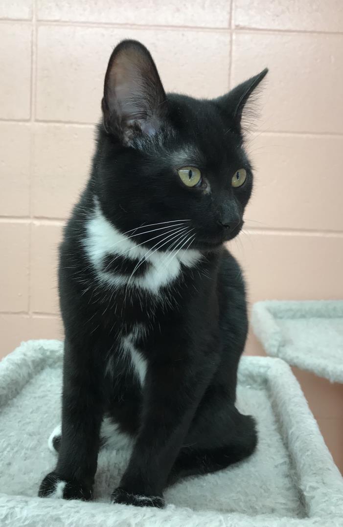 Adopt Hiller a Black & White or Tuxedo Domestic Shorthair (short coat) cat in