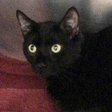 Adopt Vic a All Black Domestic Shorthair / Domestic Shorthair / Mixed cat in