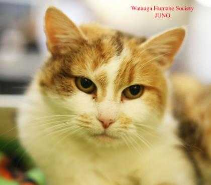 Adopt Juno a White Domestic Shorthair / Domestic Shorthair / Mixed cat in Boone