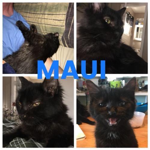Adopt MAUI a Domestic Longhair / Mixed (long coat) cat in Lawton, OK (20703108)