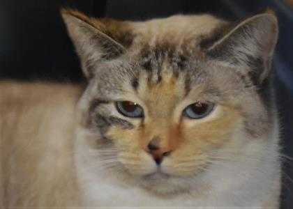 Adopt Paislee (was Emma) 896080 a Cream or Ivory Domestic Shorthair / Domestic